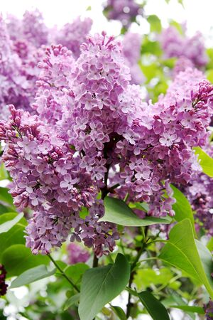 buch: Buch of lilac.Garden.Photography