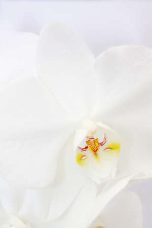 orchid flower on white background Stock Photo - 8569836