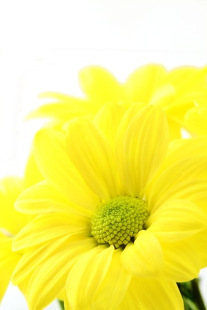 The yellow flower on a white background, is isolated.  photo