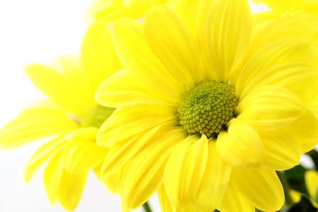 The yellow flower on a white background, is isolated.  Stock Photo