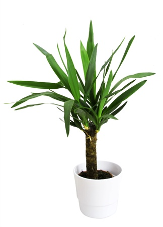 Potted plant (yucca) in a pot on a white background  photo