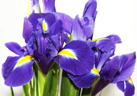 beautiful dark purple iris flower isolated on white background  photo