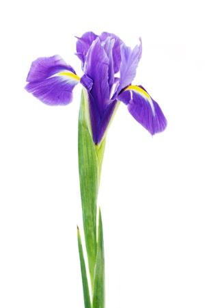 iris: beautiful dark purple iris flower isolated on white background