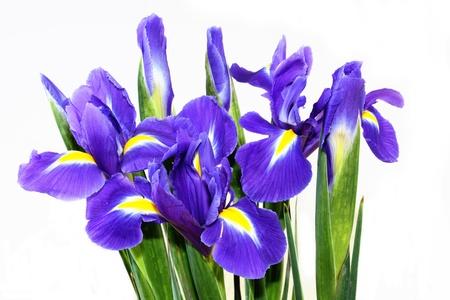 isolated irises: beautiful dark purple iris flower isolated on white background
