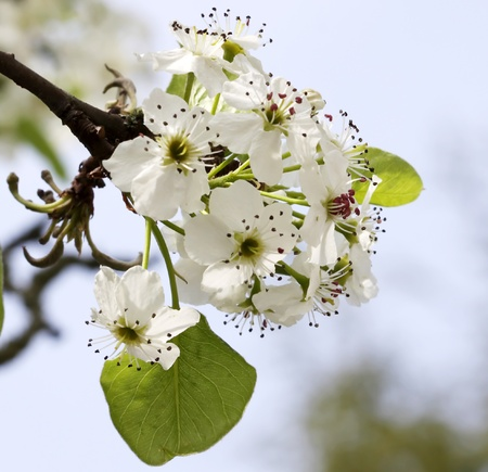 with blossoming white small flowers on a background of blue sky and green leaves  photo