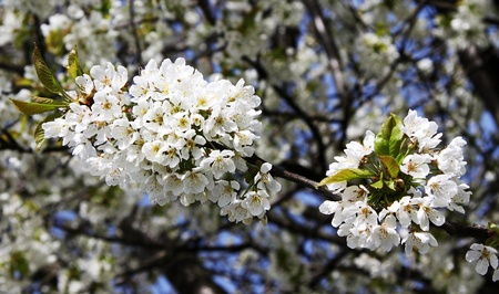 d       cor: Blossoming tree with white flowers on blue sky background