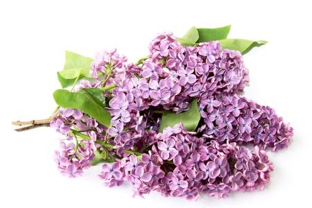Lilac ág, fehér alapon Stock fotó