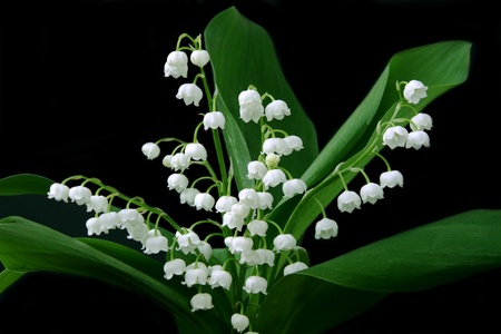 beautiful, fresh lilies of the valley isolated on black