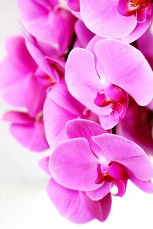 Orchid Border, friss lila orchideák Stock fotó