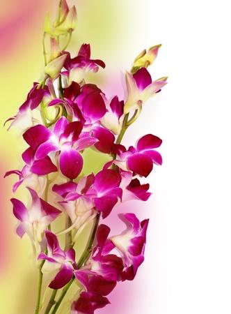 Orchid Border, friss lila orchidea elszigetelt