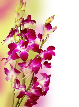 Orchid Border , Fresh violet orchids isolated