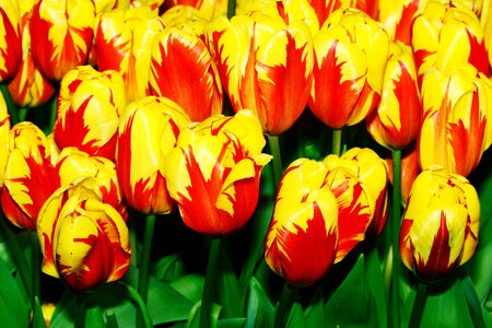 Close-up of closely bundled  tulips.  photo