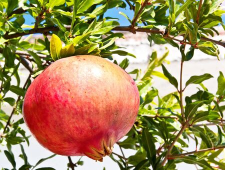 Ripe colorful pomegranate fruit on tree branch Stock Photo - 12964287