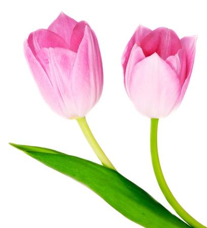 Tulips Isolated on white background Stock Photo - 14491231