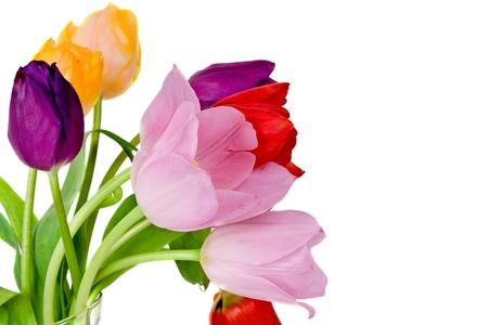 Tulipánok elszigetelt fehér háttér