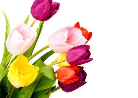 Tulips Isolated on white background  Stock Photo - 14491224