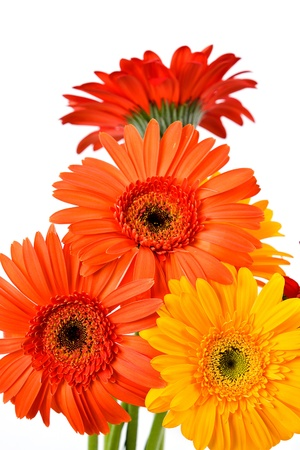 Gerber Daisy isolated on white background  photo