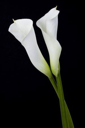 White calla lilies, over black background photo