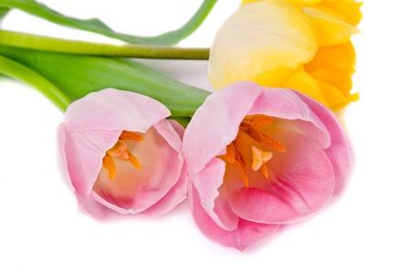 Tulips Isolated on white background Stock Photo - 15426982