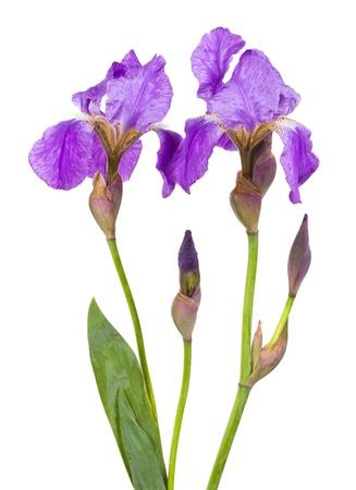 Violet fleur d'iris sur un fond blanc Banque d'images