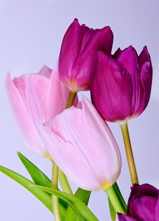 Five colorful tulips, isolated on white Stock Photo - 16471582