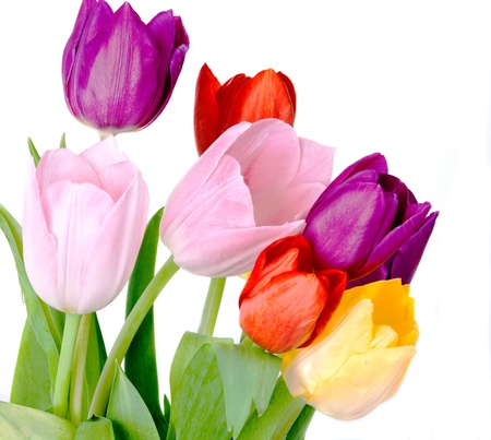 Tulips Isolated on white background  Stock Photo - 17211310