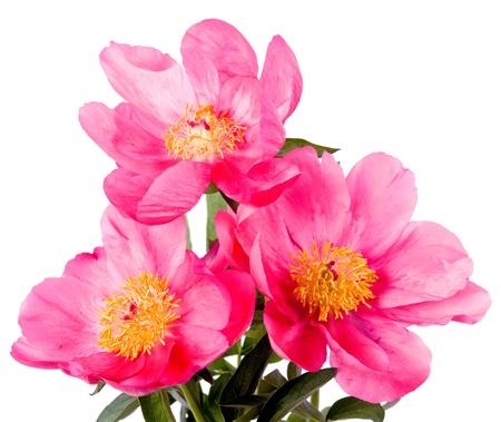 Három rózsaszín bazsarózsák elszigetelt fehér