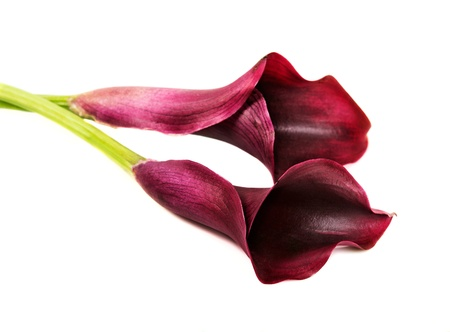 Beautiful pink calla lilies on white background  photo
