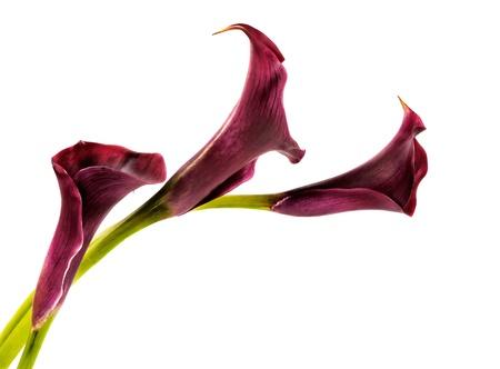 Beautiful pink calla lilies on white background Stock Photo - 18677442