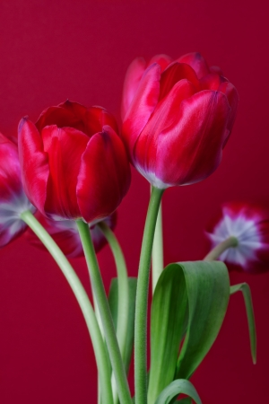 red tulips on red background Stock Photo - 19118106