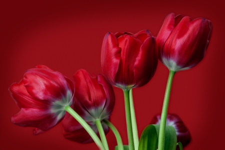 red tulips on red background Stock Photo - 19118099