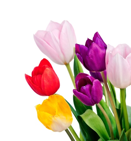 Tulips Isolated on white background  Stock Photo - 19118105