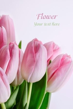 Tulips Isolated on white background  Stock Photo - 19140817