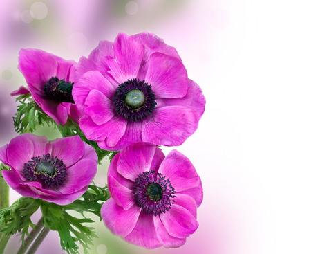 Purple anemone flower isolated on white  Stock Photo