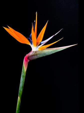 Bird of Paradise Bloemen Geà ¯ soleerd op een zwarte achtergrond Stockfoto