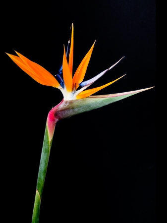 Bird of Paradise Flowers Isolated on a black Background  photo