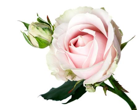 Rózsaszín rózsa csokor elszigetelt fehér háttér Stock fotó
