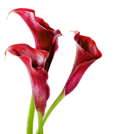 Beautiful pink calla lilies on white background
