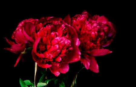 Rare type peony on black background. photo