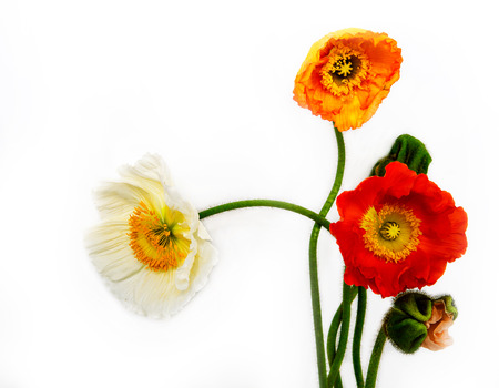 upgrowth: poppies Isolated on white background.