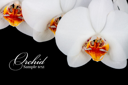 orchid: orchid on the black background