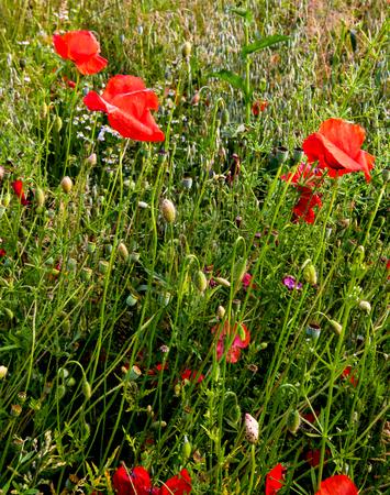 oil rape: Red poppy flowers in the oil seed rape fields
