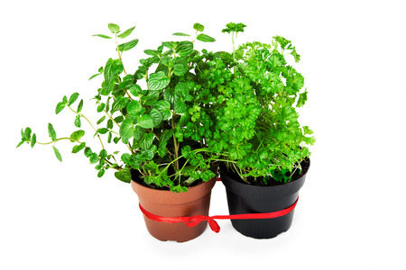 mint and parsley in a pot on a white background Stock Photo