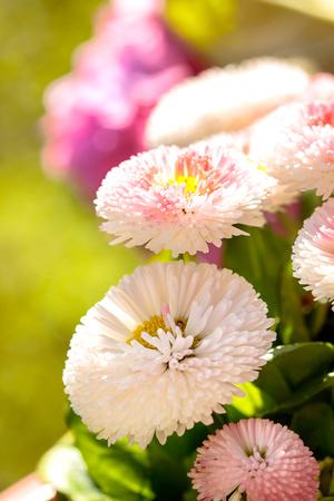 daisy pink: English daisy, lovely daisy, pink daisy, daisy Stock Photo