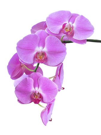 purple orchid: Isolated Purple Orchid Branch Stock Photo