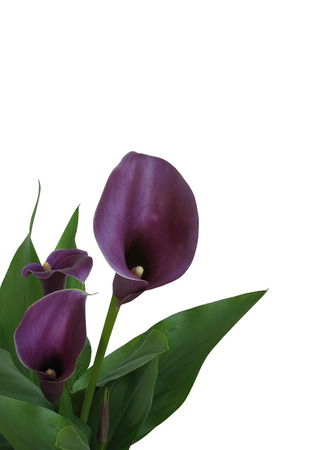 calla lily: Isolated Purple Calla Lily