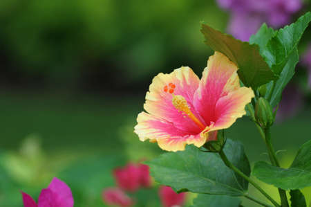Orange Hibiscus flower photo
