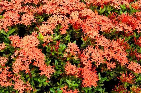 orange ixora photo