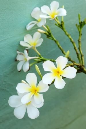 group of Frangipani flowers blooming photo