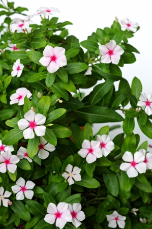 white and purple periwinkle flowers
